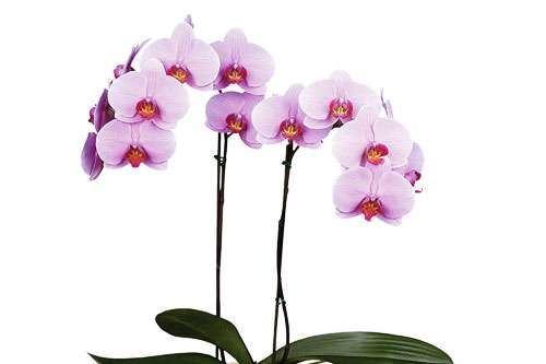 Hoa Lan có mấy loại ? Ý nghĩa hoa lan theo phong thủy?